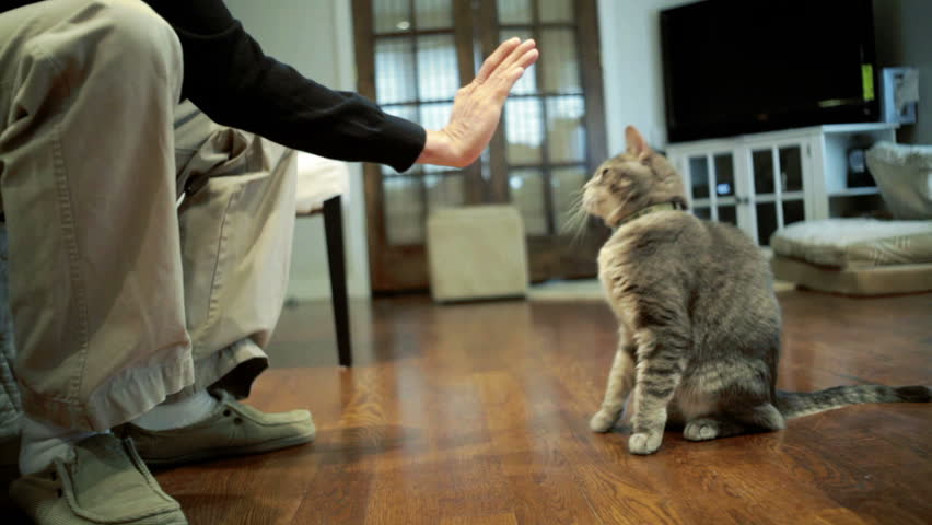 Gray cat doing tricks and giving white guy a high five