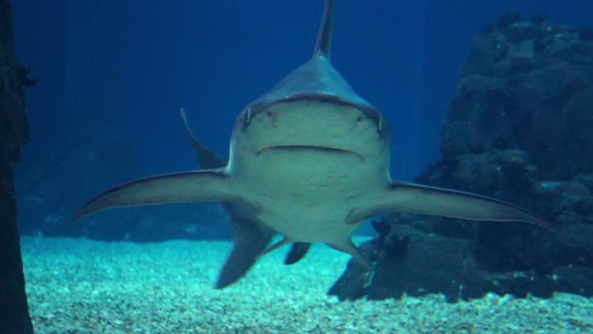 Grey Reef Shark Head on