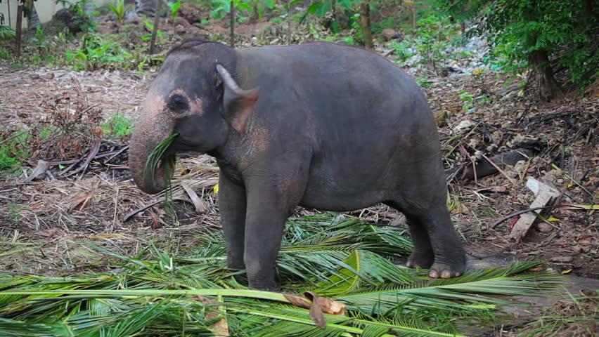 asian elephants eating