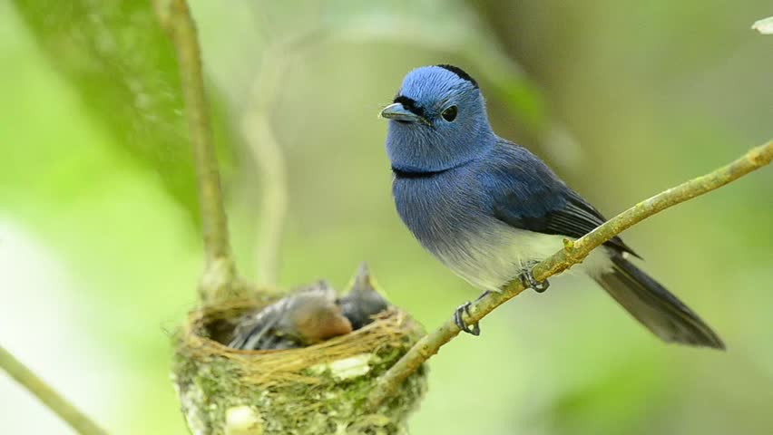 Black-naped Monarch or Black-naped Blue Flycatcher keep watching his chicks in the nest with love, blue bird