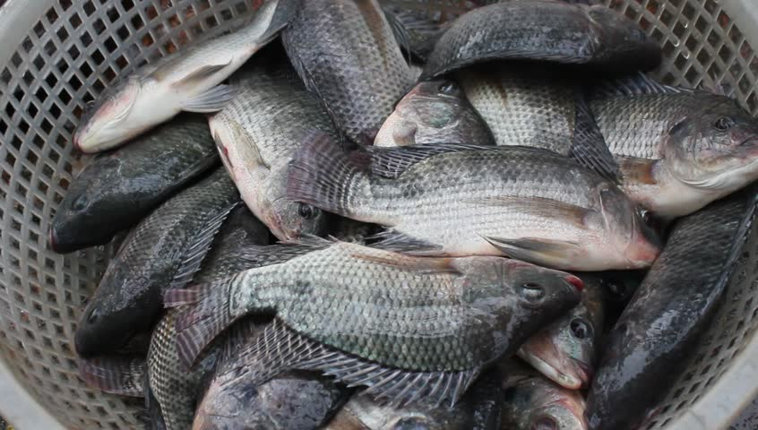 Tilapia In The Water Stock Footage Video 4015771