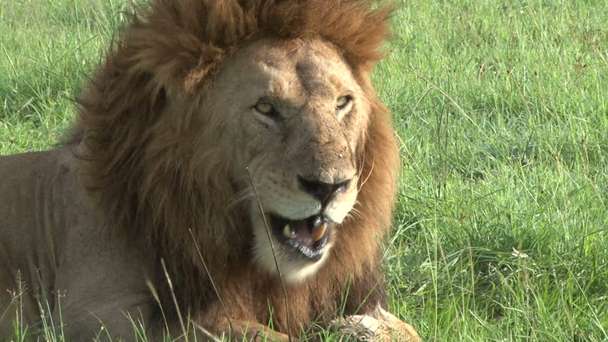 a lion licks his paws to remove maybe a thorn stuck in his foot - HD stock footage clip