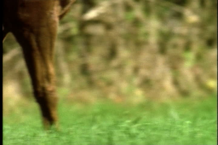 Legs of horse as it begins to gallop in slow motion, tilt up to head and mane blowing on wind. - SD stock footage clip