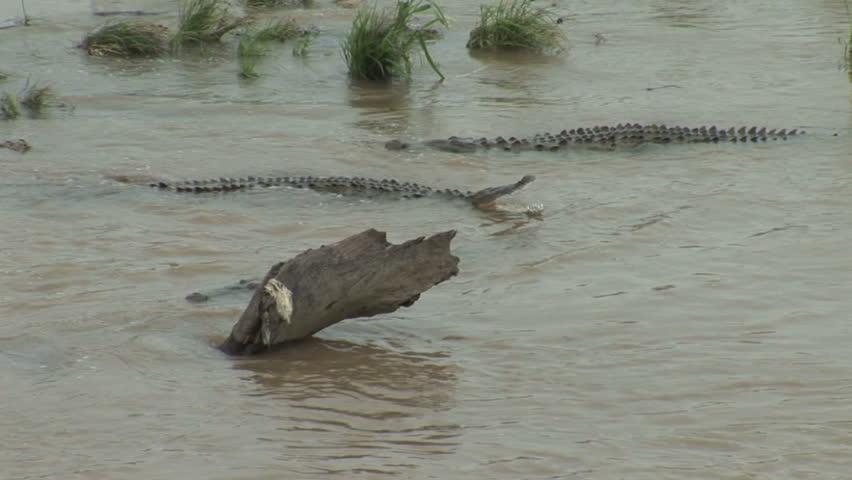 Crocodile in muddy water