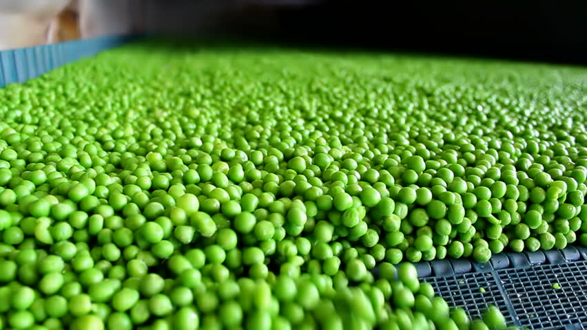 processing peas ;  fresh green peas on a treadmill in the production and processing in food industry,video clip - HD stock footage clip