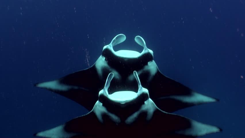 manta rays doing synchronized swimming