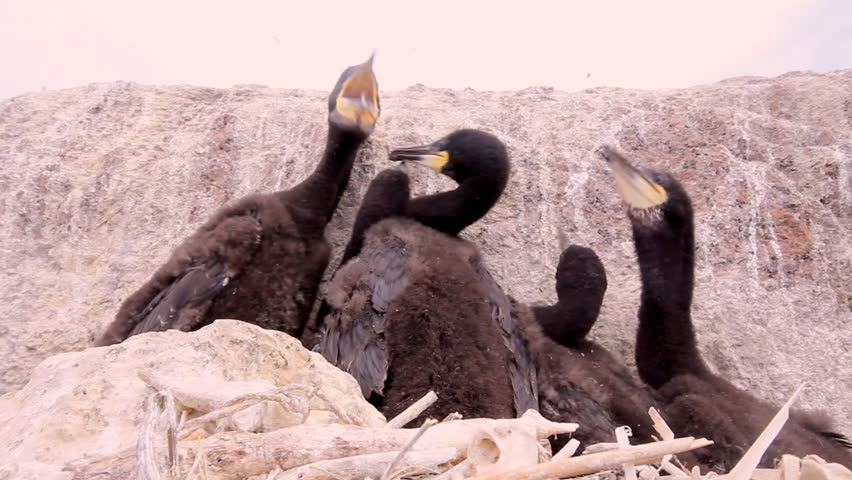 Baby birds of a cormorant in a nest close up - HD stock footage clip