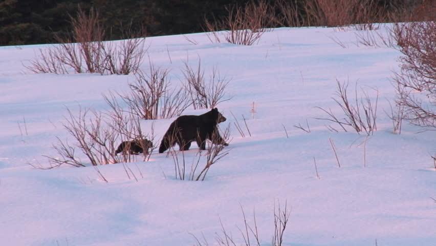 A black bear family treks across a snowy field after leaving their winter's den in spring
