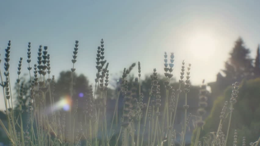Lavender in the Sunshine at Sunset - HD stock footage clip