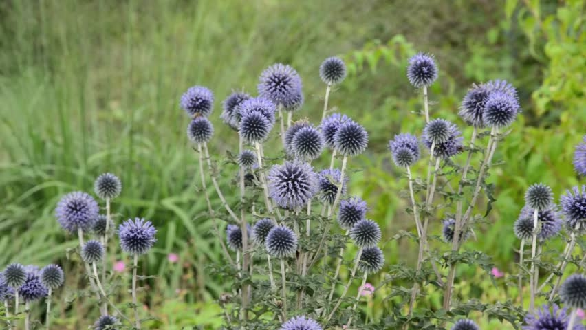 Great globe thistle (Echinops sphaerocephalus) - HD stock video clip
