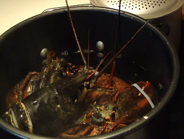 Cooking lobsters - putting lobsters in pot of boiling water, Southwest Harbor, Maine  - HD stock footage clip