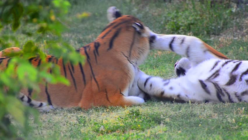 Tigers fight game play. Tigers are fighting in a wild biting its body and neck. Fight for dominate position among others.