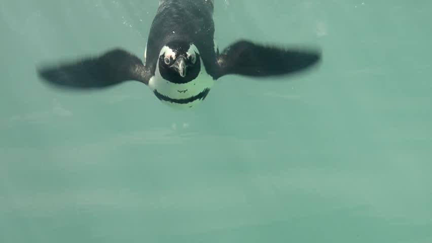 Header of African penguin