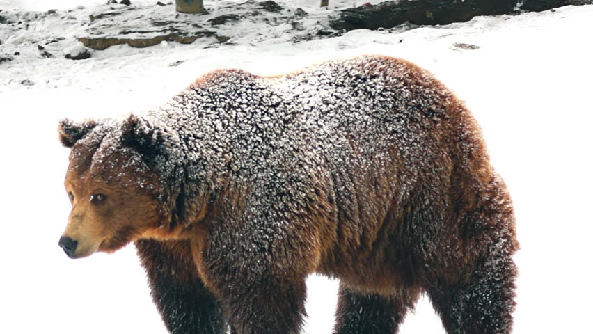 the brown bear in snow at nature winter stock footage. Black Bedroom Furniture Sets. Home Design Ideas