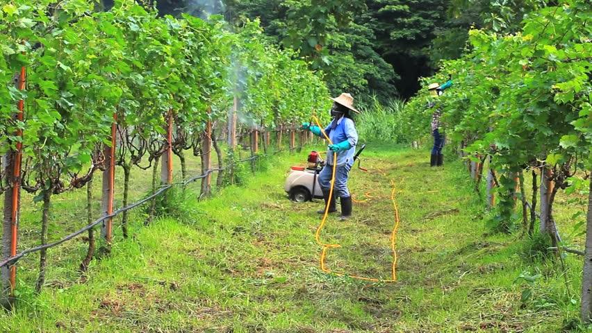 Woman spraying fertilizer in a vineyard