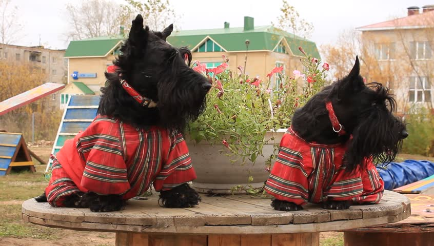 two Scottish Terrier in overalls - HD stock video clip