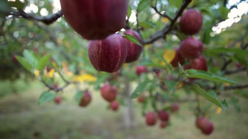 Sunrise Apple Tree Apple Tree