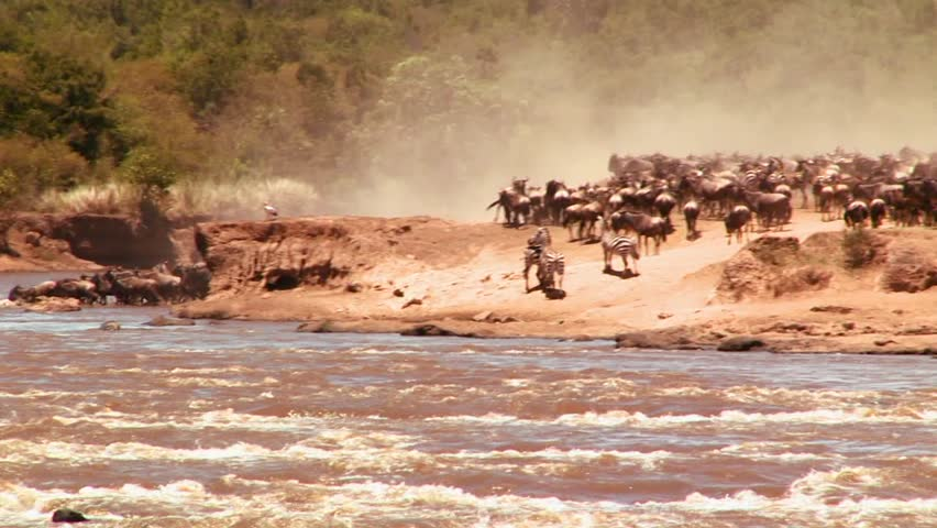 Wildebeest cross a river during a migration in Africa. - HD stock video clip