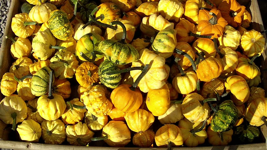 Lot of autumn pumpkin. - HD stock footage clip
