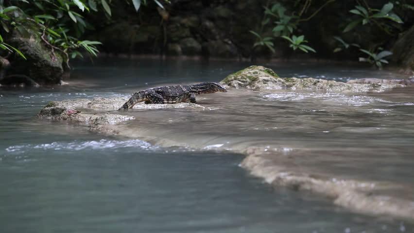Water Monitor Lizard Hunting Fish Hd Stock Video Clip
