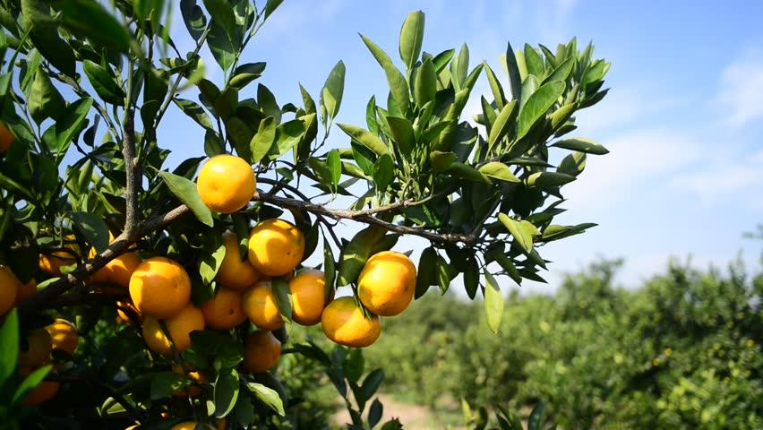 Ripe orange on the tree.