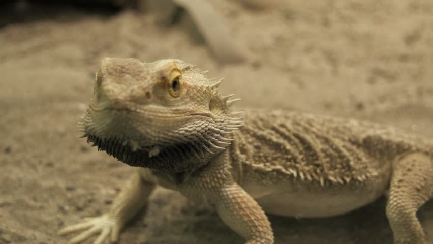 lizard running. reptile. dry sand environment. wildlife nature - HD stock video clip