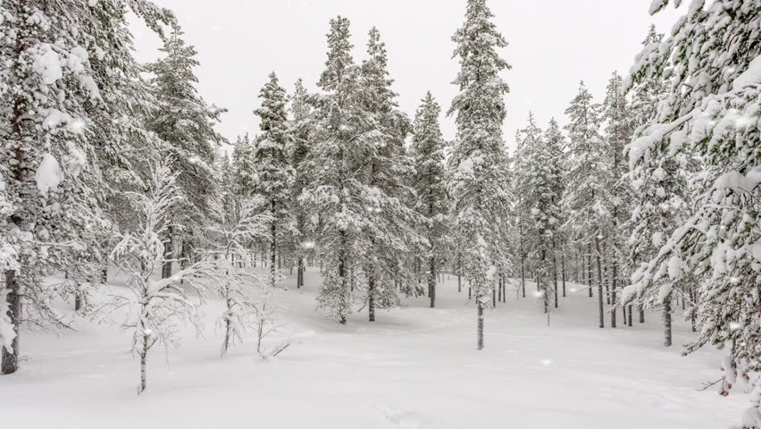 Snowflakes falling in winter woodland with snow covered evergreen pine trees in a carpet of snow