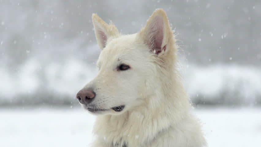 Spectacular Slow Motion Close-Up Of White Swiss Shepherd Dog And The Falling Snow
