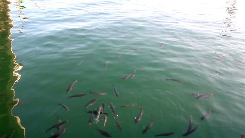 Several fish swimming fish farm sea school of fish for Illinois fish farms