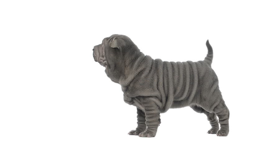 Shar pei puppy standing and looking around, then sits - HD stock video clip