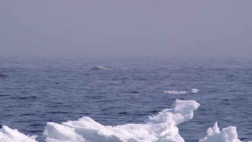 Polar bear swimming through the Arctic ocean. (Pan)