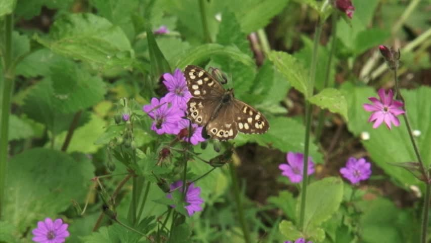 Speckled Wood butterfly flutters and feeds on nectar cranesbill, Geranium robertianum. - HD stock footage clip