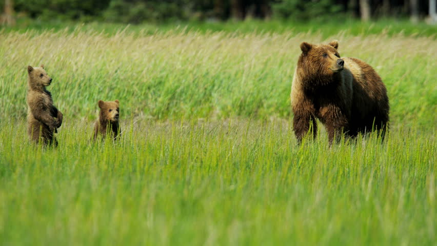 Young Brown Bear cubs inquisitive of their surroundings close to their female summer time on Wilderness grasslands shot on RED EPIC, 4K, UHD, Ultra HD resolution