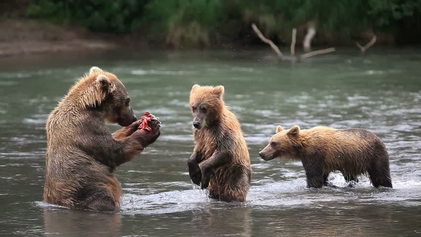 bears fishing