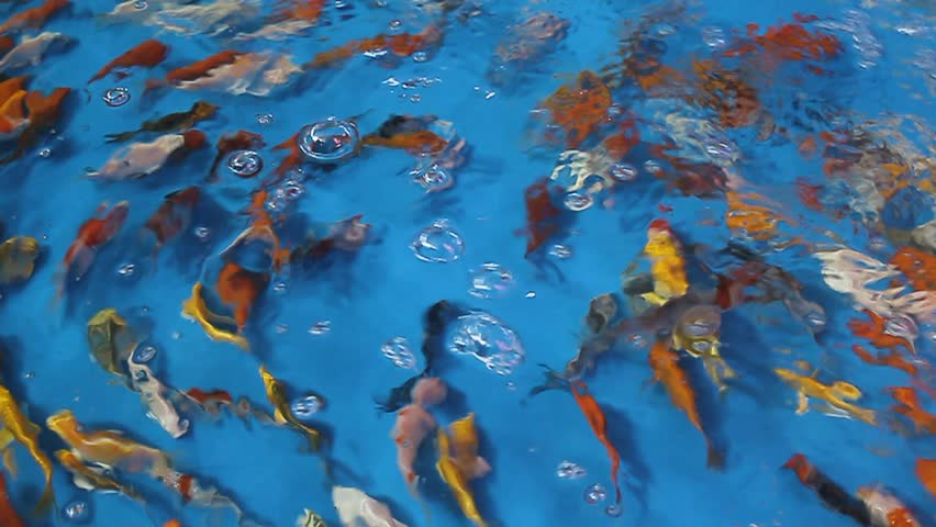 A person is feeding wild iridescent shark fresh water fish for Wild koi fish