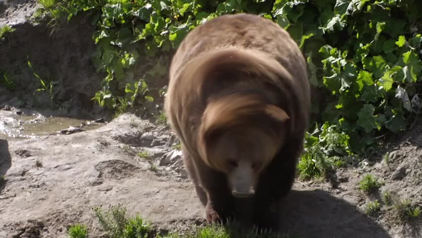 Grizzly bear shakes his fur in the sun.