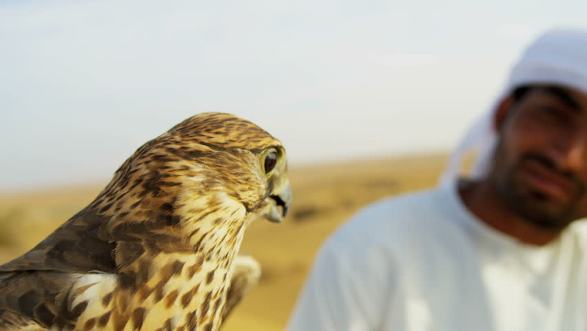 Portrait Saker falcon displaying wings tethered to Arabic male owners wrist close up shot on RED EPIC, 4K, UHD, Ultra HD resolution