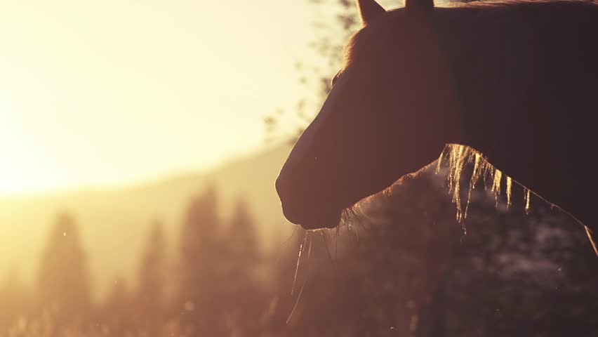 Horse Close-Up at sunset, 240fps - HD stock footage clip