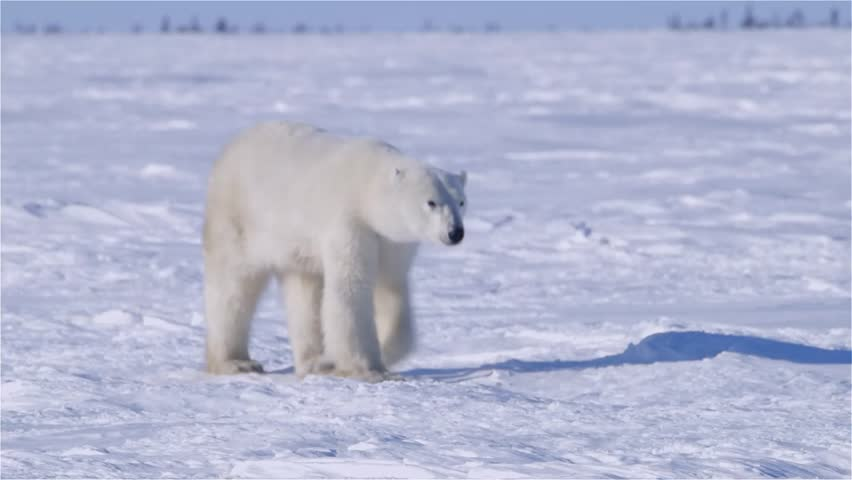 Polar bear walking in an arctic landscape sniffing around.