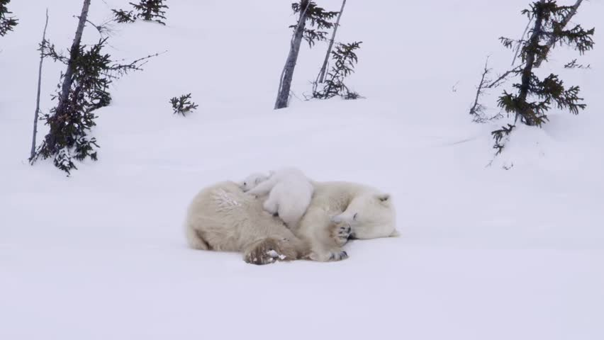 Pair of polar bear cubs lying in the snow with their mother in an arctic landscape.