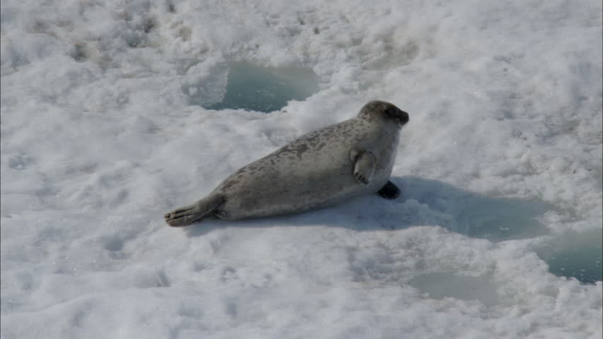 related pictures seal arctic -#main