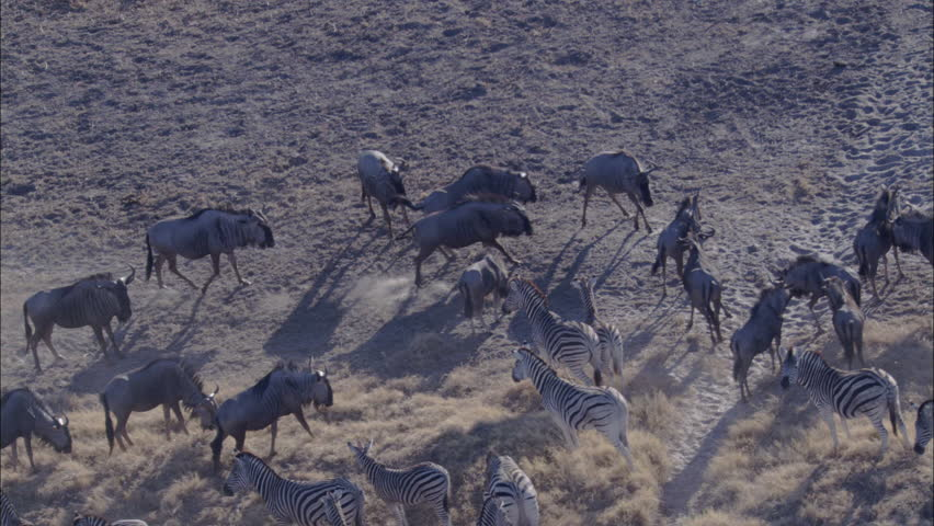Zebra Wildebeest Herd Grazing Savanna. Herds of zebra and wildebeest graze a vast savanna in Africa. The animals co-exist in the feeding without any territorial discrepancies.  - HD stock video clip