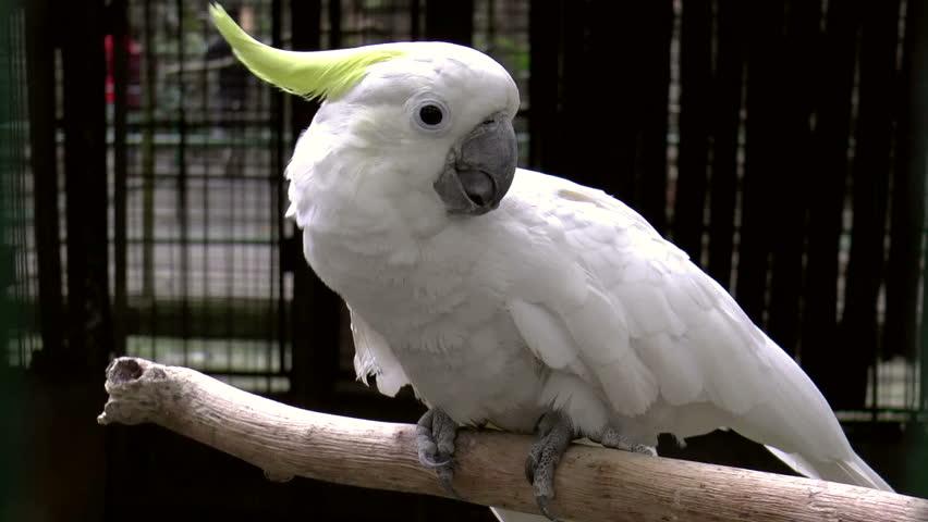 White Cockatoo (Cacatua alba), also known as the Umbrella Cockatoo in captivity, HD clip