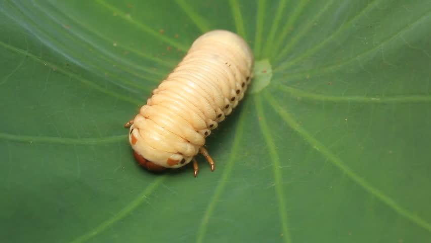 Larva The Rhinoceros Beetle Stock Footage Video 5558564 - Shutterstock