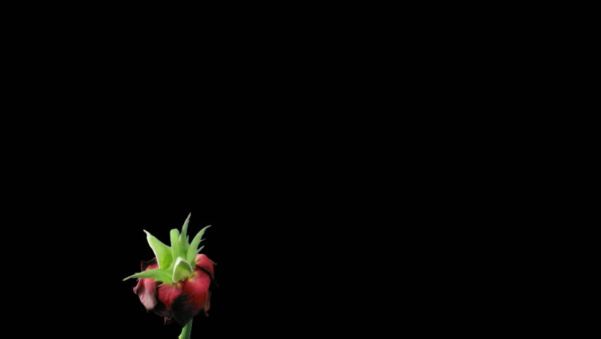 Time-lapse of dying red rose 11a isolated black time reverse