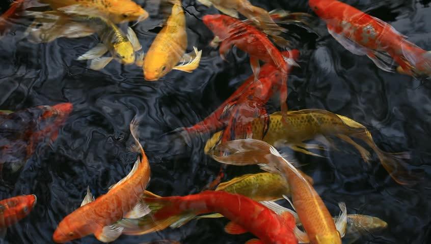 Koi swimming around in the pond hd stock video clip for Koi fish swimming