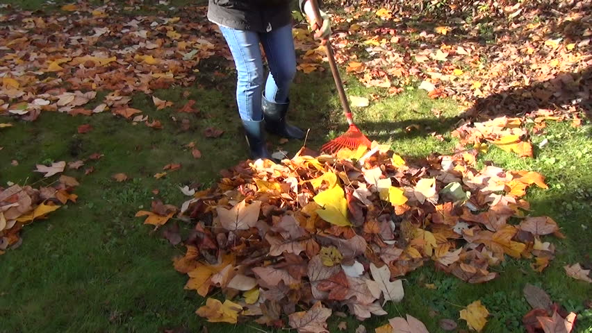 worker raking neatly with red garden rake autumn dry tuliptree leaves in garden