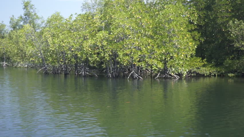 Mangrove Forest In A Tropical Country, Clip 3 Of 4 Stock ...  Mangrove Forest...