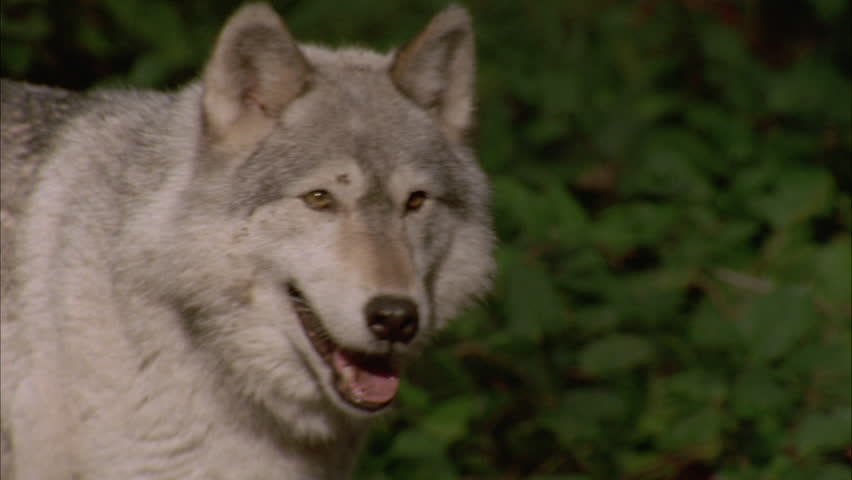 *wolf looking out, turns its head and walks away