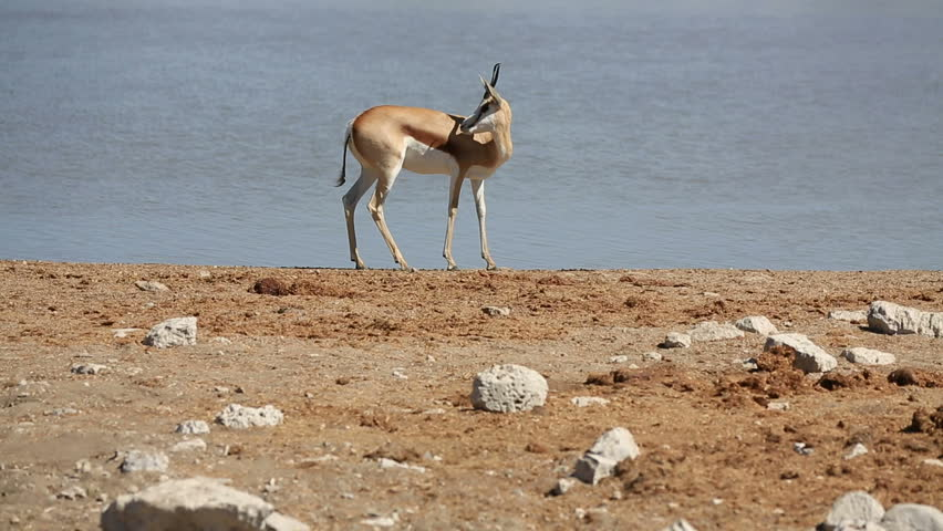 Side view of Springbok couple against waterhole